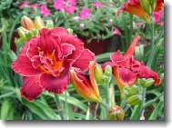 daylily plant in flower garden
